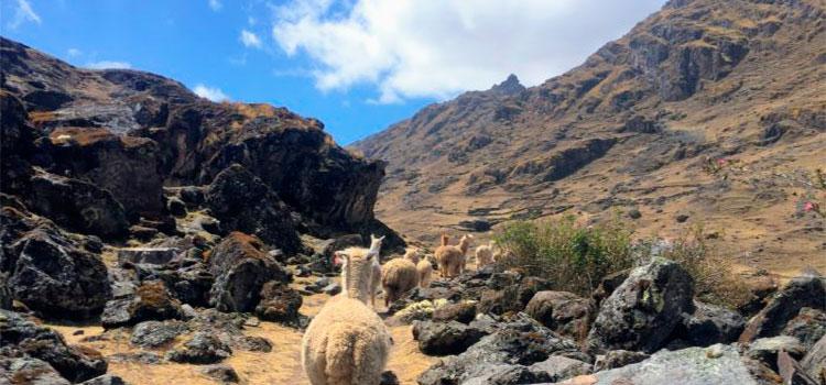 kinsa cocha hike and lares trek